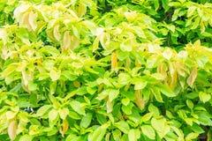 Дерево или пизония салата alba для предпосылки Стоковые Изображения