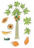 Дерево и плодоовощ папапайи Стоковое Изображение RF