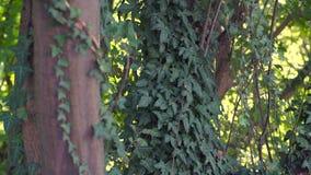 Дерево и плющ видеоматериал