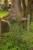 Дерево и плющ стоковое изображение