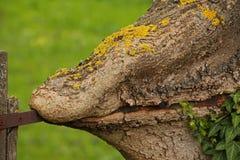 Дерево и плющ стоковая фотография