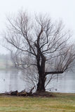 Дерево и туман озером Стоковая Фотография