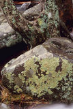 Дерево и утес покрытые с лишайником Стоковые Изображения RF
