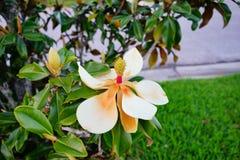 Дерево и цветок denudata магнолии Стоковая Фотография