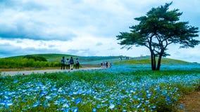 Дерево и Nemophila на парке взморья Хитачи весной с голубым s Стоковое Фото