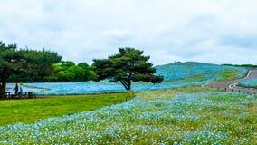 Дерево и Nemophila на парке взморья Хитачи весной с голубым s Стоковая Фотография