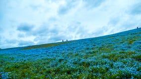 Дерево и Nemophila на парке взморья Хитачи весной с голубым s Стоковые Изображения
