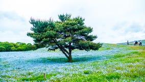 Дерево и Nemophila на парке взморья Хитачи весной с голубым s Стоковые Фотографии RF
