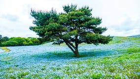 Дерево и Nemophila на парке взморья Хитачи весной с голубым s Стоковое Изображение
