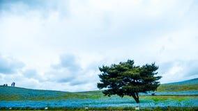 Дерево и Nemophila на парке взморья Хитачи весной с голубым s Стоковые Изображения RF