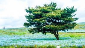 Дерево и Nemophila на парке взморья Хитачи весной с голубым s Стоковое фото RF