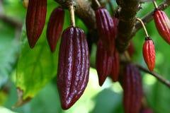 Дерево какао с стручками Стоковое Изображение RF