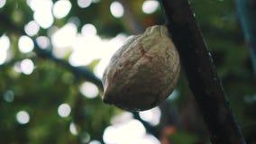 Дерево какао с стручком сток-видео