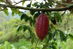 Дерево какао - какао Theobroma - органический плодоовощ какао Стоковые Изображения
