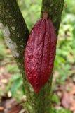 Дерево какао - какао Theobroma - органический плодоовощ какао Стоковое фото RF