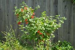 Дерево калины с зрелыми ягодами около деревянной загородки Стоковая Фотография