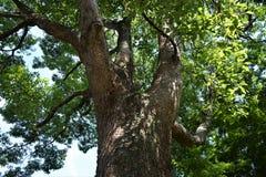 Дерево камфоры Стоковое фото RF