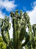 Дерево канделябров Стоковое Фото