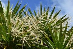 Дерево капусты в цветени Стоковая Фотография