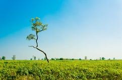 Дерево кассавы в лесе Стоковая Фотография
