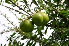 Дерево калебаса Стоковое Изображение
