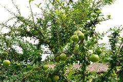 Дерево калебаса Стоковая Фотография