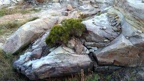 Дерево кедра растя из утеса Стоковые Изображения
