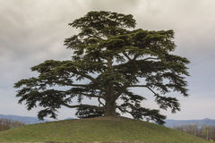 Дерево кедра Ливана Светское дерево, символ Ла Morra Стоковое фото RF