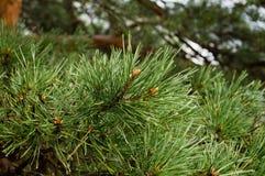 Дерево кедра стоковые фото