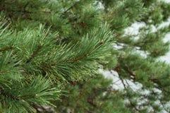 Дерево кедра Стоковые Изображения
