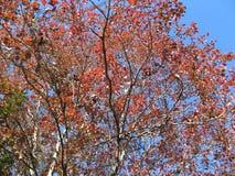 Дерево кизила осенью Стоковая Фотография RF