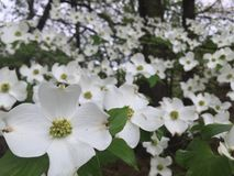 Дерево кизила в цветени Стоковое Изображение