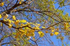 Дерево клена с желтыми листьями против голубого неба во дне осени стоковые фотографии rf