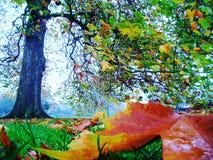 Дерево клена Стоковая Фотография