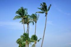 Дерево кокоса Стоковые Фотографии RF