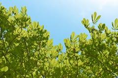 Дерево конского каштана Стоковые Изображения