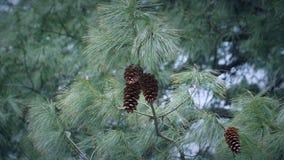 Дерево конуса сосны с конусами сосны Стоковые Изображения RF