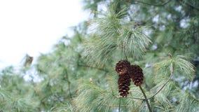 Дерево конуса сосны с конусами сосны Стоковые Фотографии RF