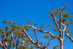 Дерево коралла зацветая весной стоковая фотография