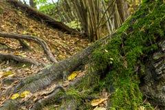 Дерево корней большое сильными разветвило корнями предусматриванными с дизайном зеленого леса холма мха сценарным стоковые фотографии rf