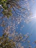 Дерево Коста-Рика флористическое Стоковое фото RF