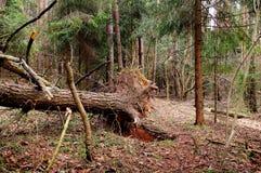 Дерево которое вытягивано вне с корнями в древесине Стоковые Изображения RF