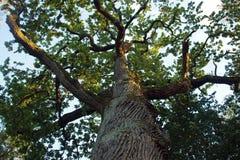 Дерево которое увидело Наполеон Стоковое фото RF