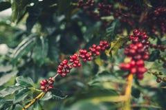 Дерево кофе кофейных зерен кофе вишни хорошее качественное красное обильное стоковые изображения