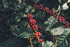 Дерево кофе кофейных зерен кофе вишни хорошее качественное красное обильное стоковые фото