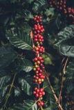 Дерево кофе кофейных зерен кофе вишни хорошее качественное красное обильное стоковое фото