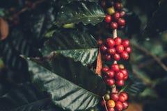Дерево кофе кофейных зерен кофе вишни хорошее качественное красное обильное стоковое изображение