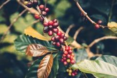 Дерево кофе кофейных зерен кофе вишни хорошее качественное красное обильное стоковые фотографии rf