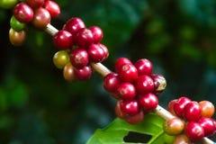 Дерево кофе с зелеными и зрелыми фасолями Стоковые Изображения RF