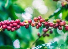 Дерево кофе с зелеными и зрелыми фасолями стоковое изображение rf